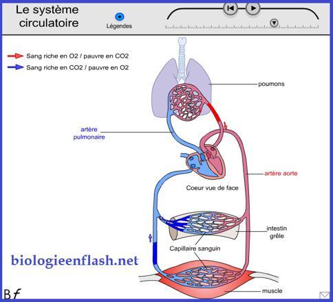 appareil circulation sanguine