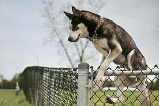 fugue chien