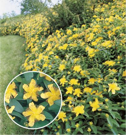 millepertuis plante