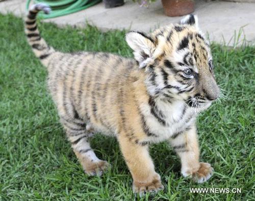 nom pour un tigre