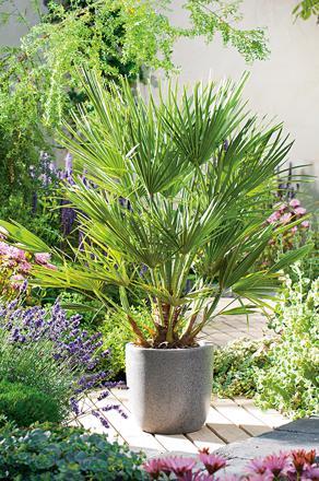 palmiers nains d'extérieur