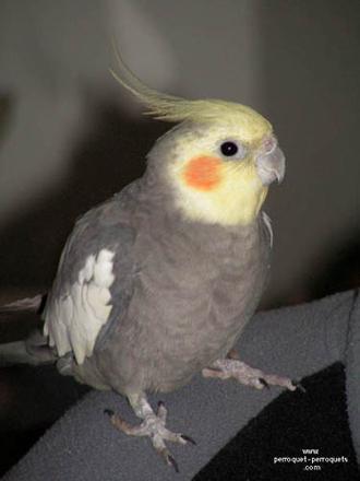 perroquet calopsitte