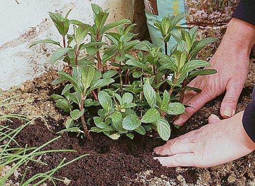 planter menthe