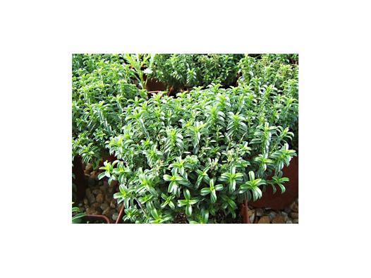 plantes aromatiques vivaces